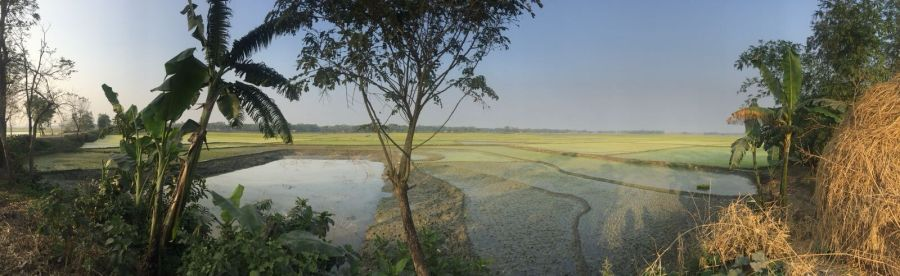 The rice paddy fields of Bangladesh
